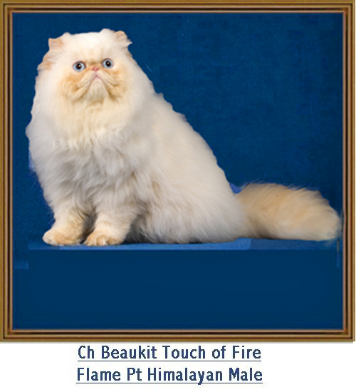 Male Himalayan & Persian Cats for Sale in Dallas-Fort Worth TX ...
